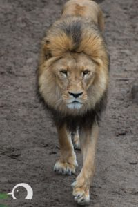 Löwen-034