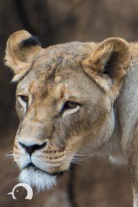 Löwen-042
