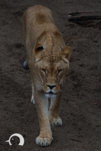 Löwen-035
