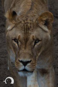 Löwen-038
