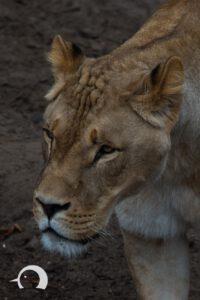 Löwen-037