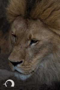 Löwen-036