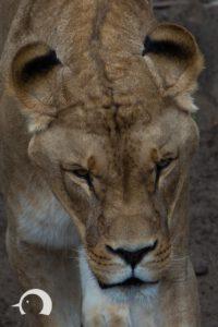 Löwen-024