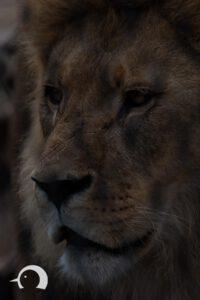 Löwen-031