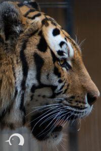 Tiger-003