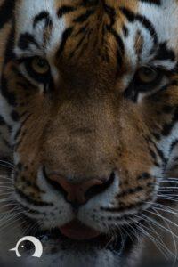 Tiger-008