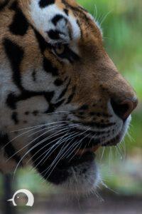 Tiger-007