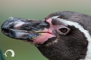 Pinguine-011