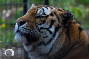 Tiger-006