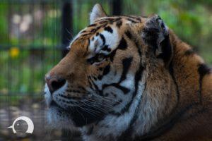 Tiger-004
