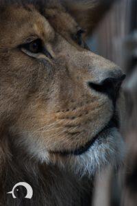Löwen-008