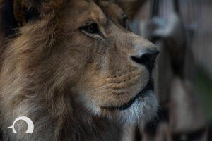Löwen-018