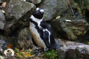 Pinguine-010