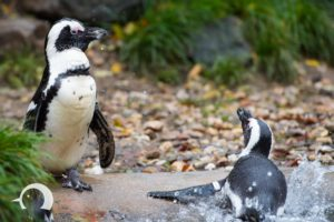 Pinguine-004