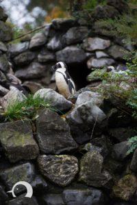Pinguine-005