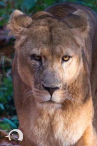Löwen-005