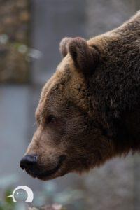 Braunbären-002