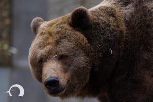 Braunbären-003