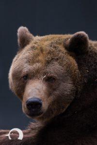 Braunbären-004