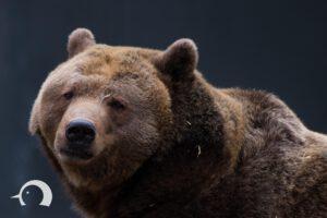 Braunbären-001