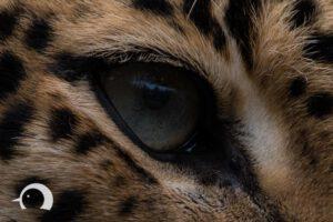 Leoparden-009