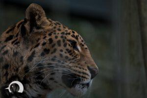Leoparden-008