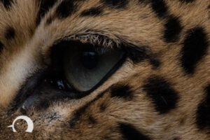 Leoparden-005