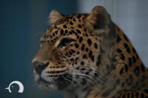 Leoparden-007
