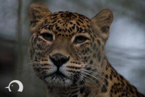 Leoparden-001