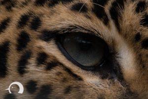 Leoparden-003