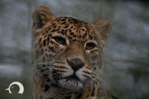 Leoparden-004