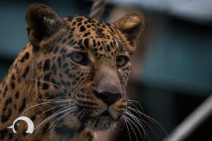 Leoparden-006