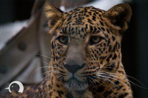 Leoparden-002
