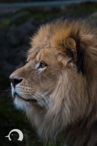 Löwen-054