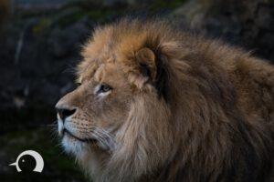 Löwen-053