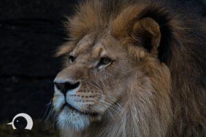 Löwen-050
