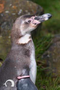 Pinguine-022