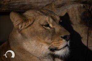 Löwen-048