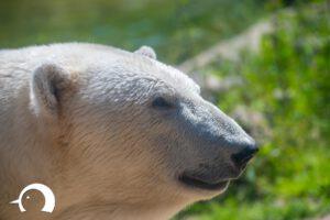 Eisbären-001