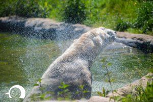Eisbären-003