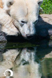 Eisbären-005