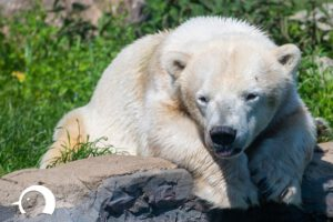 Eisbären-004