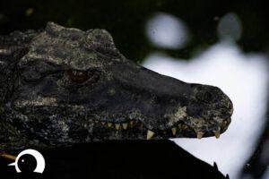 Krokodile-007