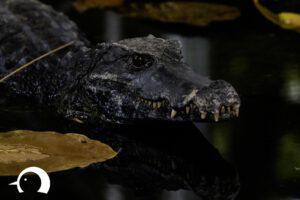 Krokodile-006