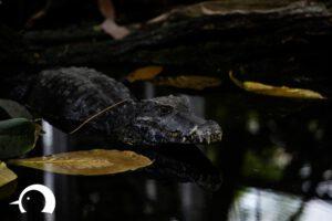Krokodile-005