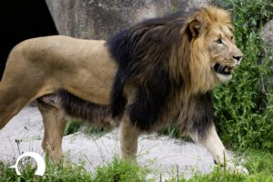 Löwen-065