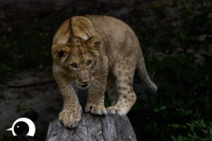 Löwen-056