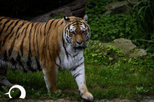 Tiger-014