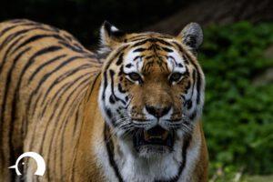 Tiger-013