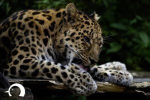 Leoparden-011